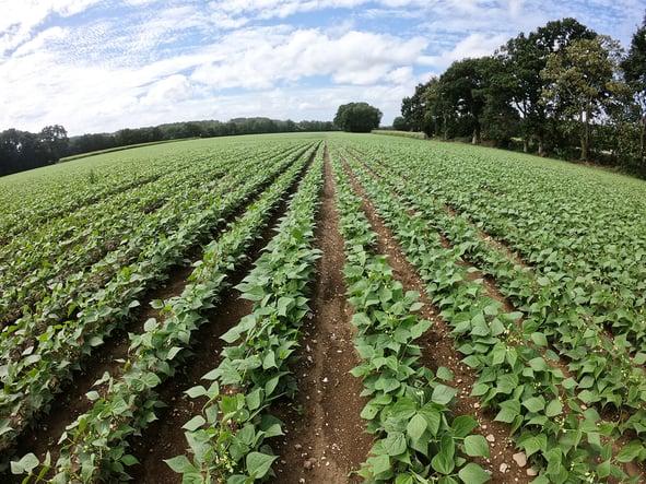 beans-fields-dilepix
