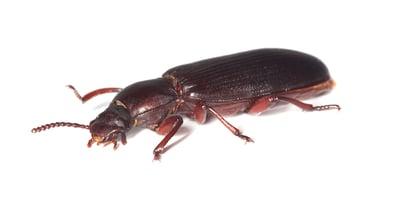 insectes-tenebrio-molitor-adulte-Dilepix