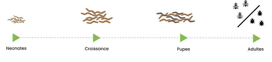 Schema-croissance-insectes-dilepix